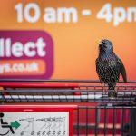 L'étourneau de supermarché, Cornwall, Angleterre par Geoff Trevarthen