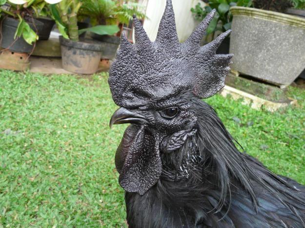 Coq noir