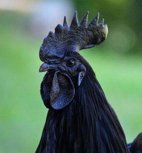 Coq noir, coq gothique, race rare d'Indonésie Ayam Cemani