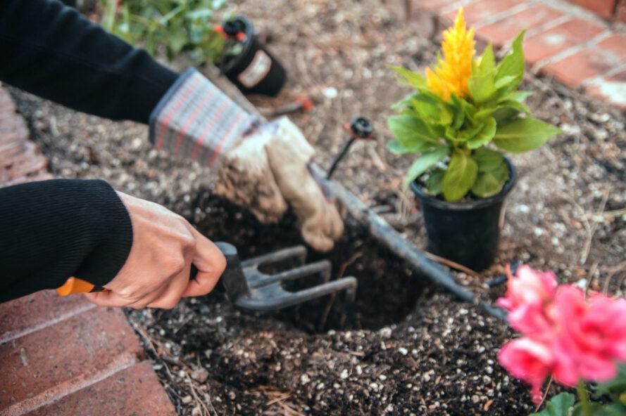 personne, planter, fleurs, jardin