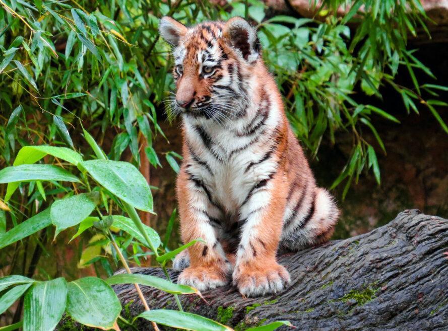 tigre, petit, séance, bûche