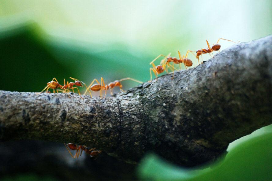 une ligne de fourmis rouges marchant sur une branche d'arbre