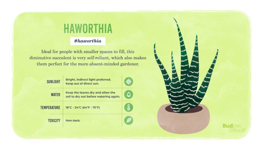 une infographie sur la plante Haworthia, avec un dessin de la plante et des informations sur ses besoins en lumière solaire, en eau et en température et sa toxicité