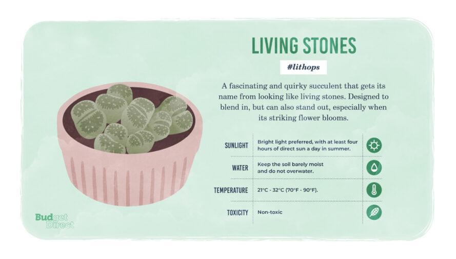 une infographie sur la plante Living Stones, avec un dessin de la plante et des informations sur ses besoins en lumière solaire, en eau et en température et sa toxicité