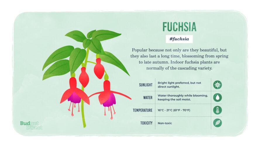 une infographie sur la plante Fuschia, avec un dessin de la plante et des informations sur ses besoins en lumière solaire, en eau et en température et sa toxicité