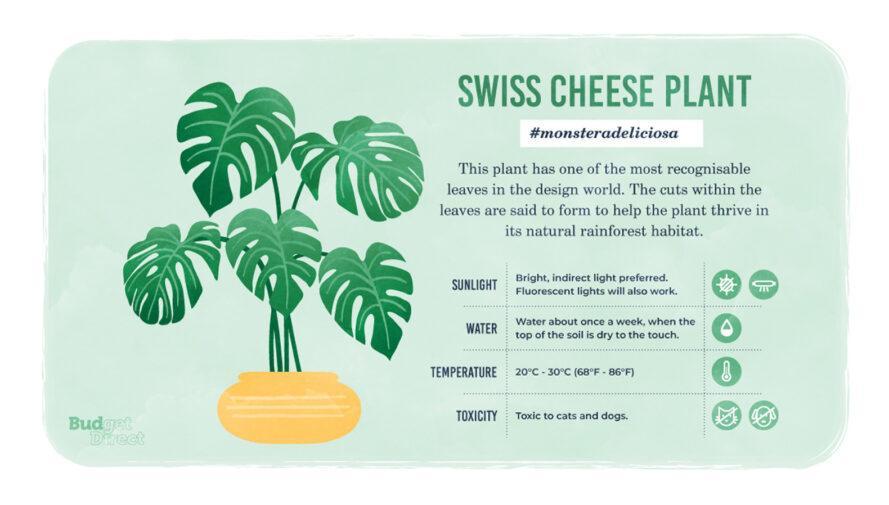une infographie sur la plante Swiss Cheese, avec un dessin de la plante et des informations sur ses besoins en lumière solaire, en eau et en température et sa toxicité