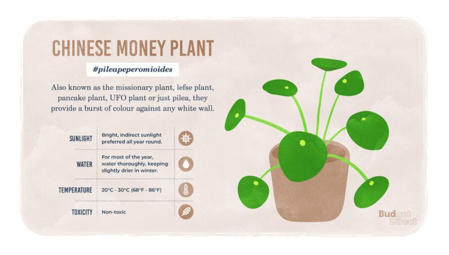 une infographie sur la plante Chinese Money, avec un dessin de la plante et des informations sur ses besoins en lumière solaire, en eau et en température et sa toxicité