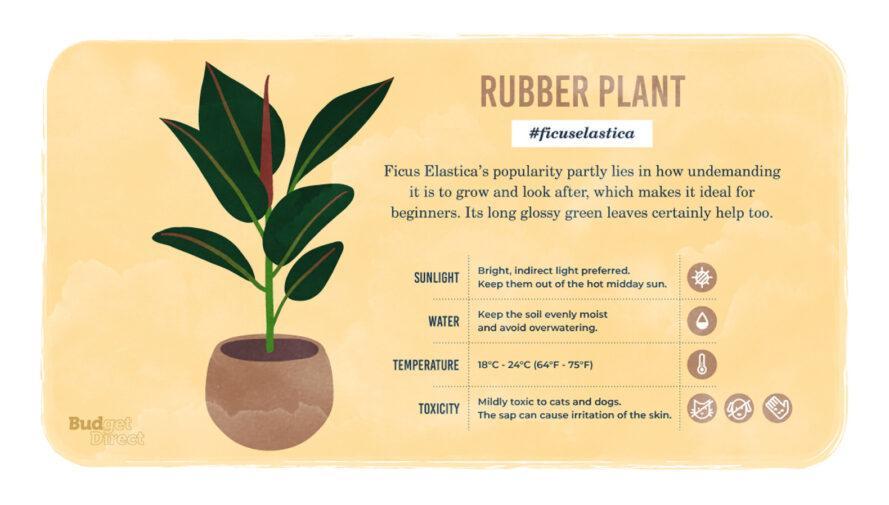 une infographie sur l'usine de caoutchouc, avec un dessin de la plante et des informations sur ses besoins en lumière solaire, en eau et en température et sa toxicité