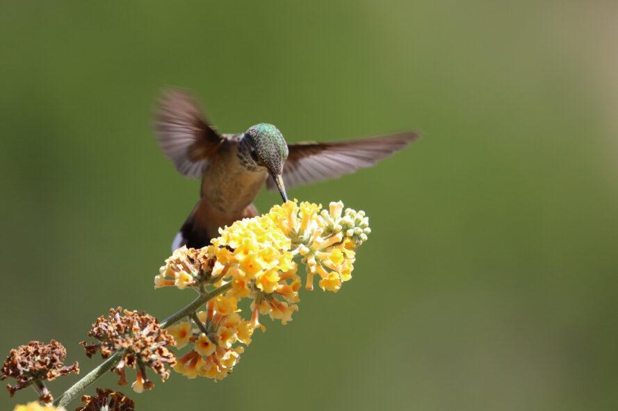 Colibri pollinisation grappe de minuscules fleurs jaunes