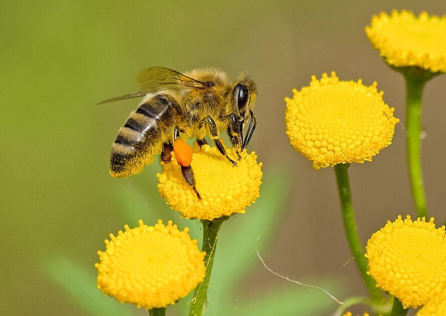 une abeille sur une fleur jaune, entourée d'autres fleurs jaunes