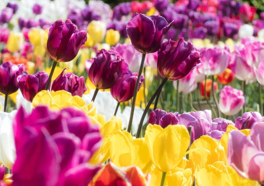 un jardin plein de fleurs violettes et jaunes