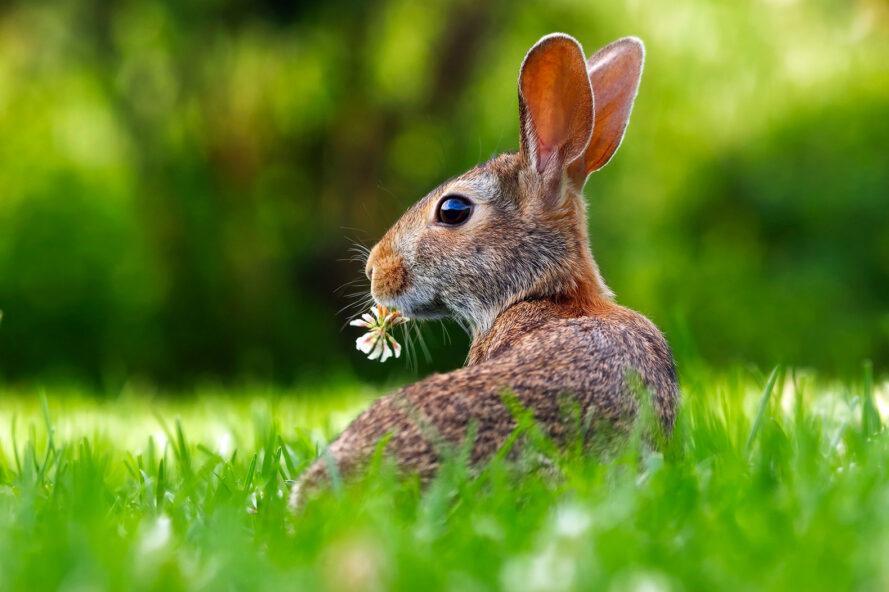 un lapin avec une fleur dans sa bouche sur l'herbe