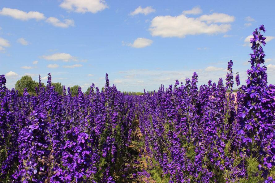 un champ plein de fleurs violettes